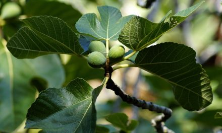 Where's the Fruit?  The Danger of a Leafy Life – Mk 11:11-14