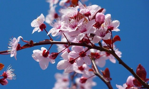 The Blossoming of the Almond Tree – Ex 25:33-34, 37:17-23